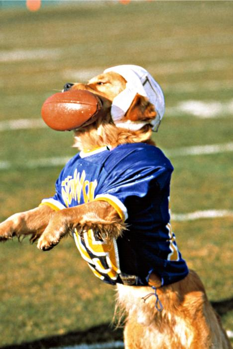 AIR BUD  Buddy  the golden retriever  in his football uniform  with    Air Bud Football Josh
